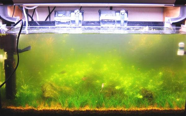 Ako odstranit riasy v akvariu